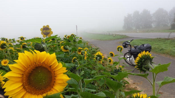 Sunflowers in the mist