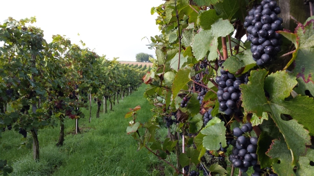 Grapes on the Neckar
