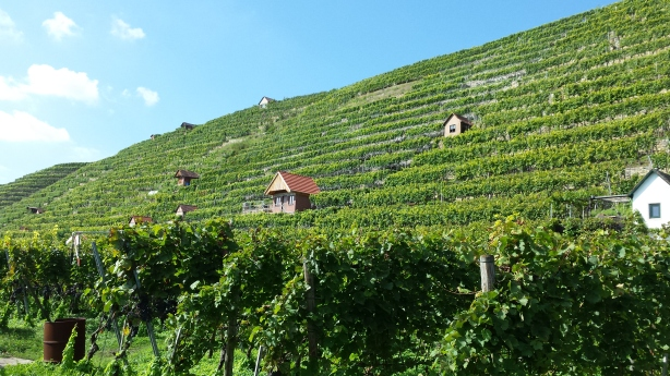 Vineyard on the Neckar