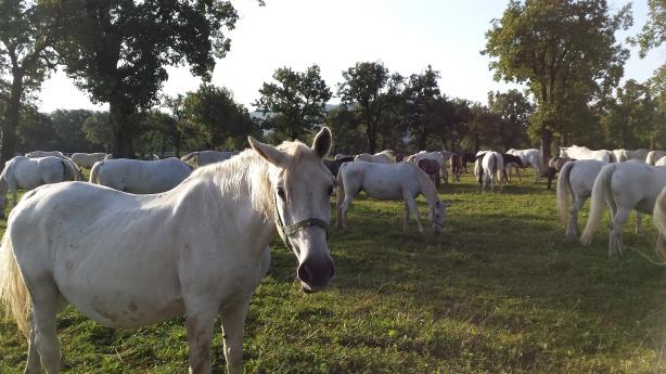 White horses in Lothlórien