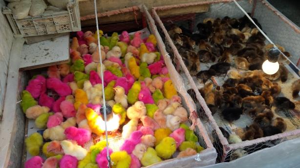 Fluorescent chicks