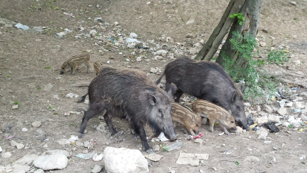 Wild (?) pigs in the Golestan National Park
