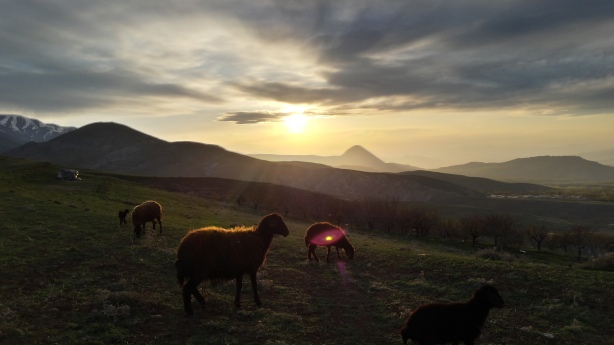 The sheep at sunset