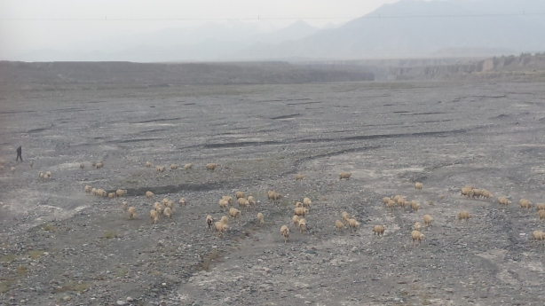 Sheep in the river bed