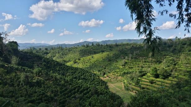 The tea hills