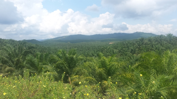 Endless palm plantations