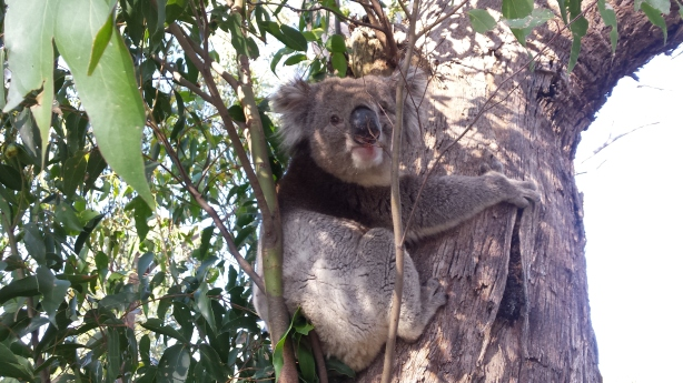 My friend the koala.