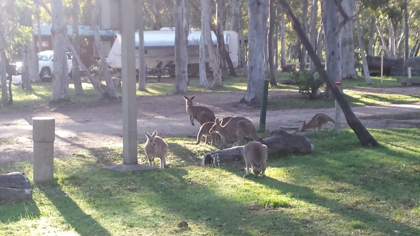 Kangaroos at the camping ground