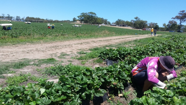 Strawberry pruning near Adelaide