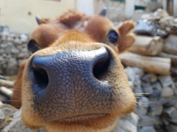 Nako cow