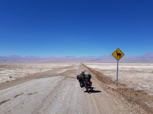 Llamas crossing