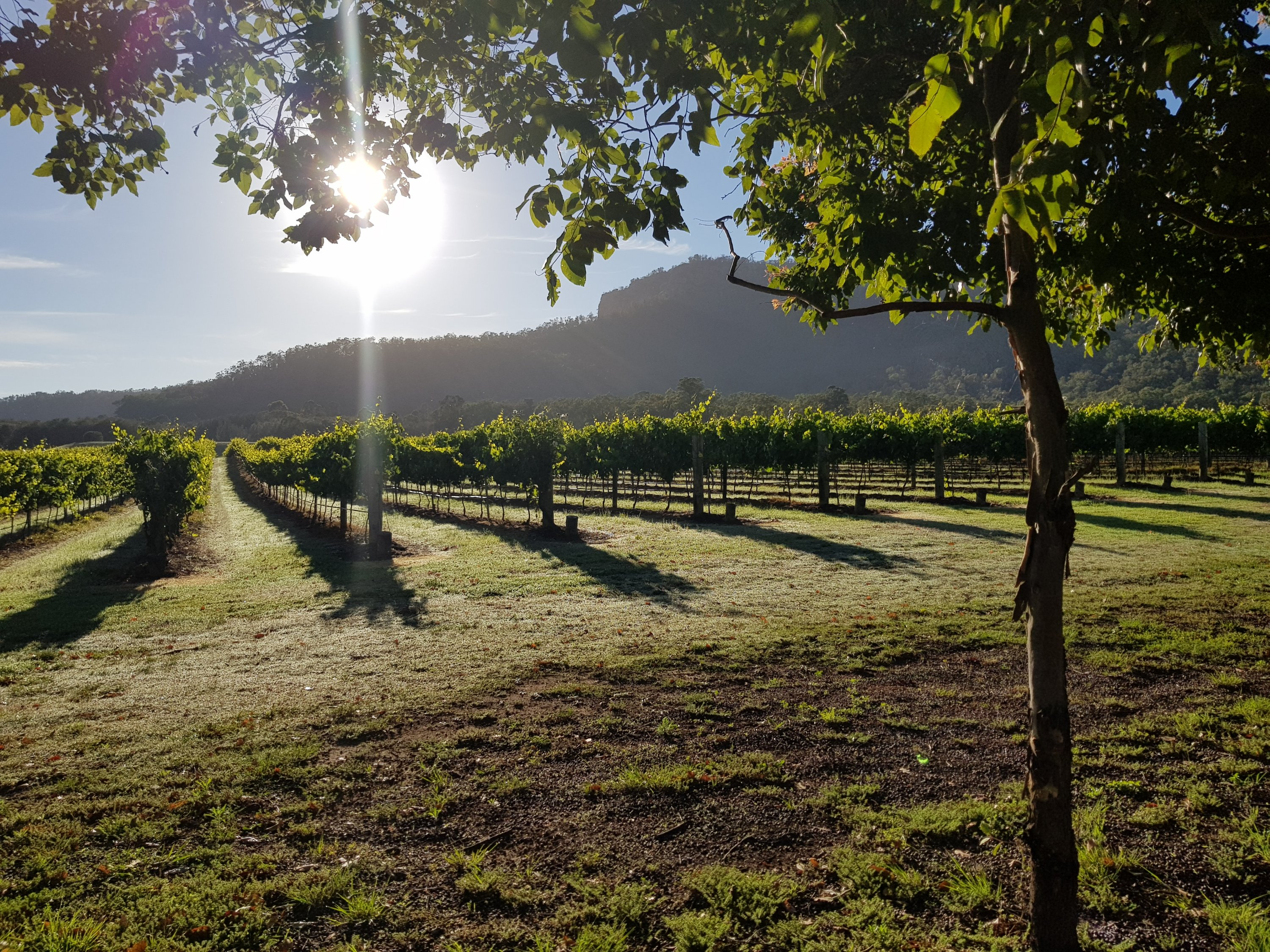 Vineyard in the early morning